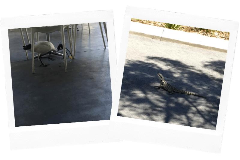 bin chicken and water dragon in Australia